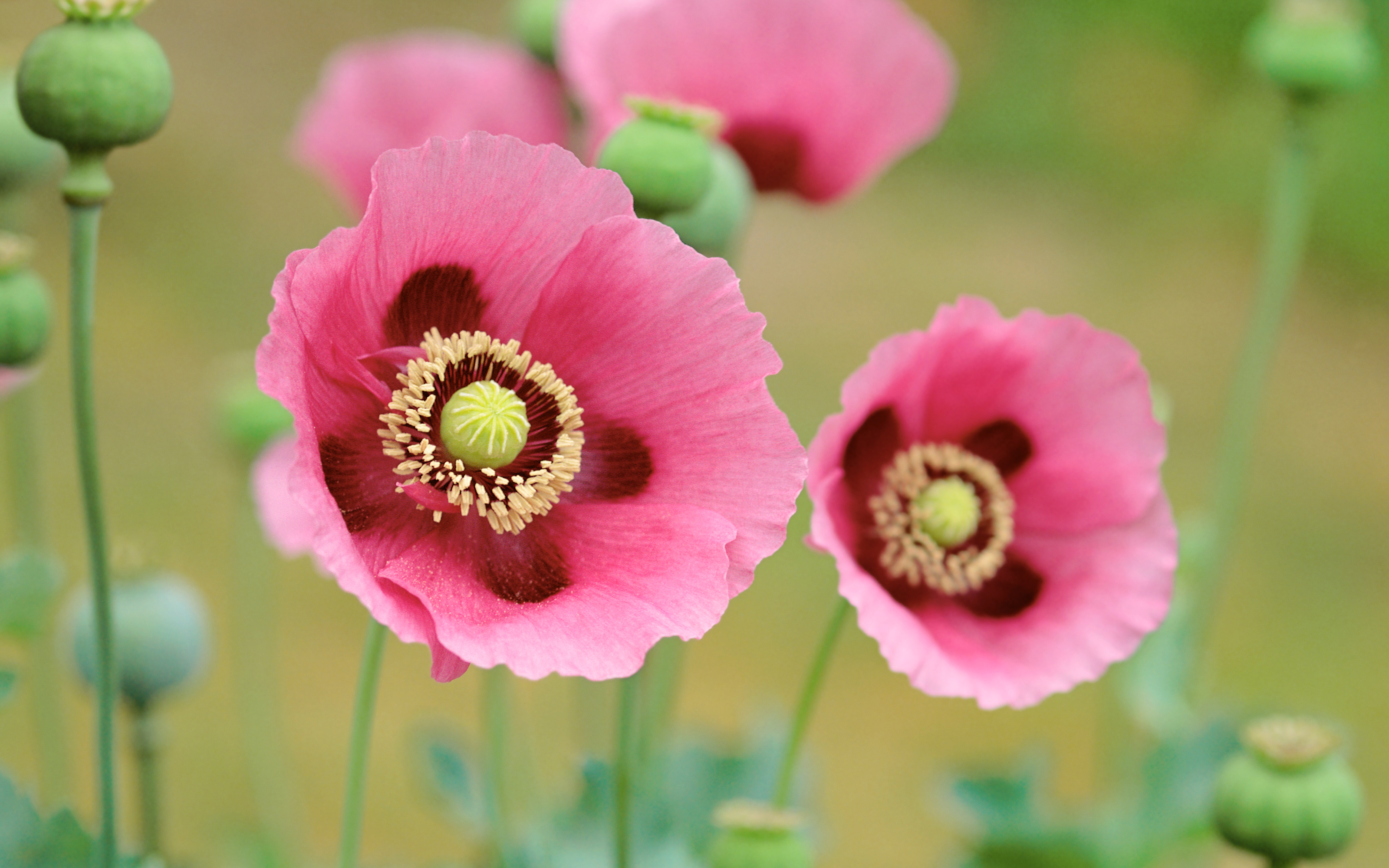File name poppies flowers posted piph category flowers added january