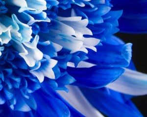 Blue Flowers hd Wallpapers