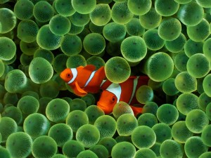 Iphone Clown Fish Wallpaper for Background