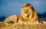 download Lion Wallpapers