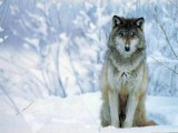 download wolf hd wallpaper widescreen