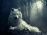 free download wolf hd wallpaper 1024x768