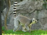 Free Download Lemurs Picture