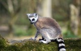 Free Lemurs Wallpaper HD
