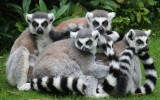 Free Lemurs Wallpaper Wide