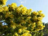 Mimosa Flowers wallpapers