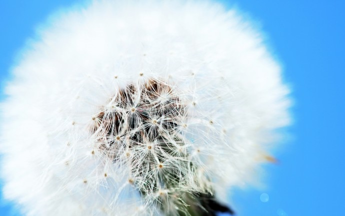 White Dandelion Wallpaper HD Free Download