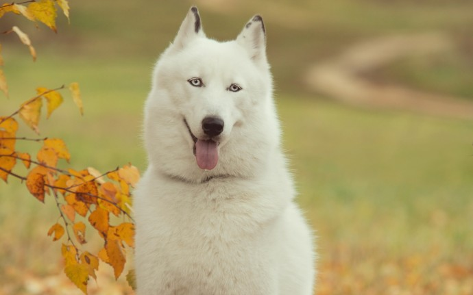 Siberian Husky Dog White Wallpaper HD