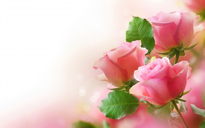Cute Pink Roses Wallpaper Full HD
