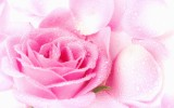 Cute Pink Roses Wallpapers