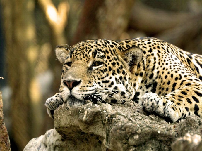 Free Leopard Wallpaper Iphone