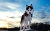 Husky Dog Winter HD Wallpaper