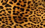 Leopard Print Wallpaper HD