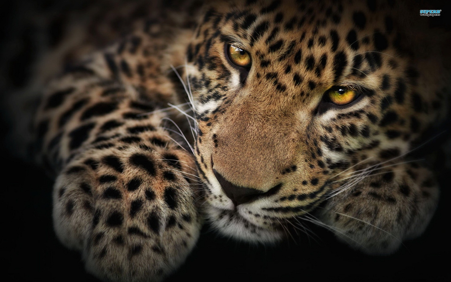 leopard wallpaper full hd