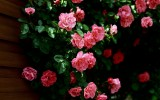 Nature Flowers Beautiful Roses Wallpaper