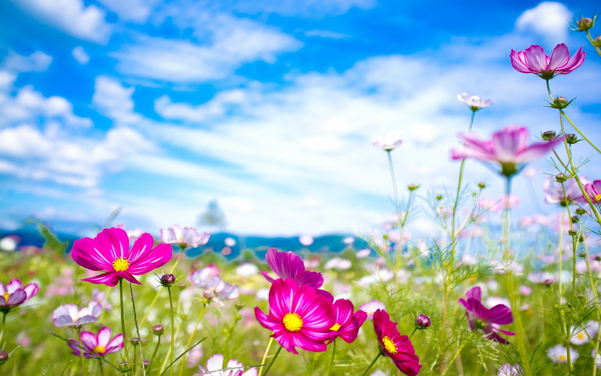 Pink Flowers Summer HD Wallpaper Widescreen  ImageBank.biz