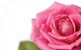 Pink Roses Wallpaper Windows 7