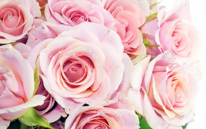 Pink Roses Wallpapers