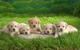 Puppies Wallpaper For Desktop