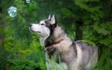 Siberian Husky Dog Wallpaper Widescreen