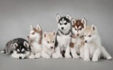 Siberian Husky Puppies HD Widescreen