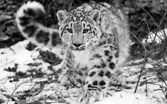 The Snow Leopard Wallpaper For Desktop