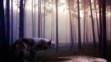 Wild Wolf Wallpaper Widescreen