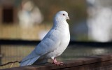 Beautiful Pigeon Birds Wallpaper