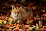 Fox Autumn Wallpapers