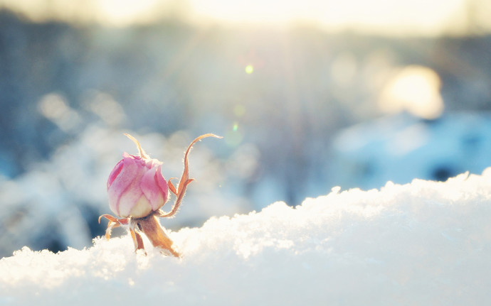Pink Rose Snow Wallpapers