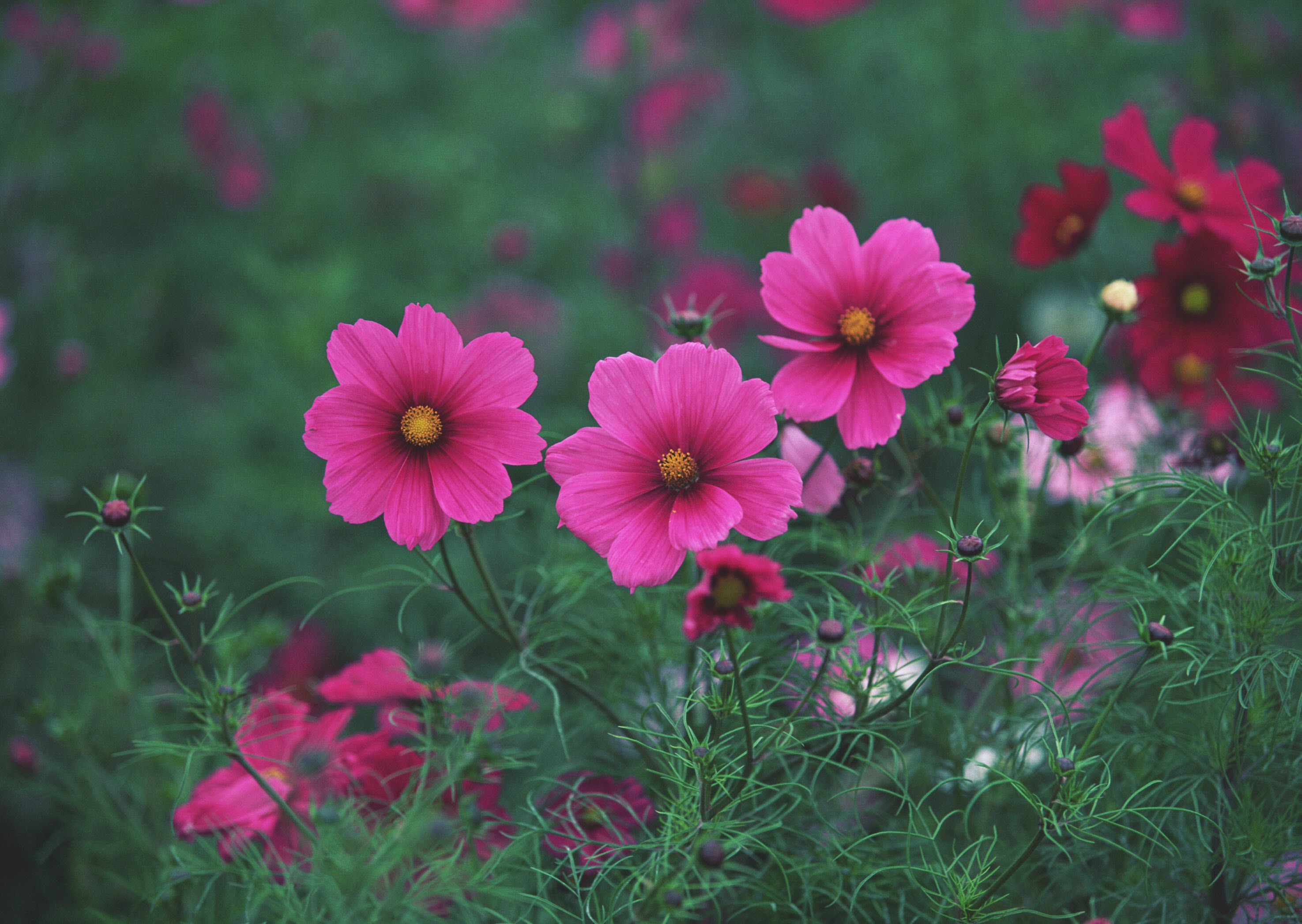 Nice Image Of Pink Flowers, Desktop Wallpaper Of Field
