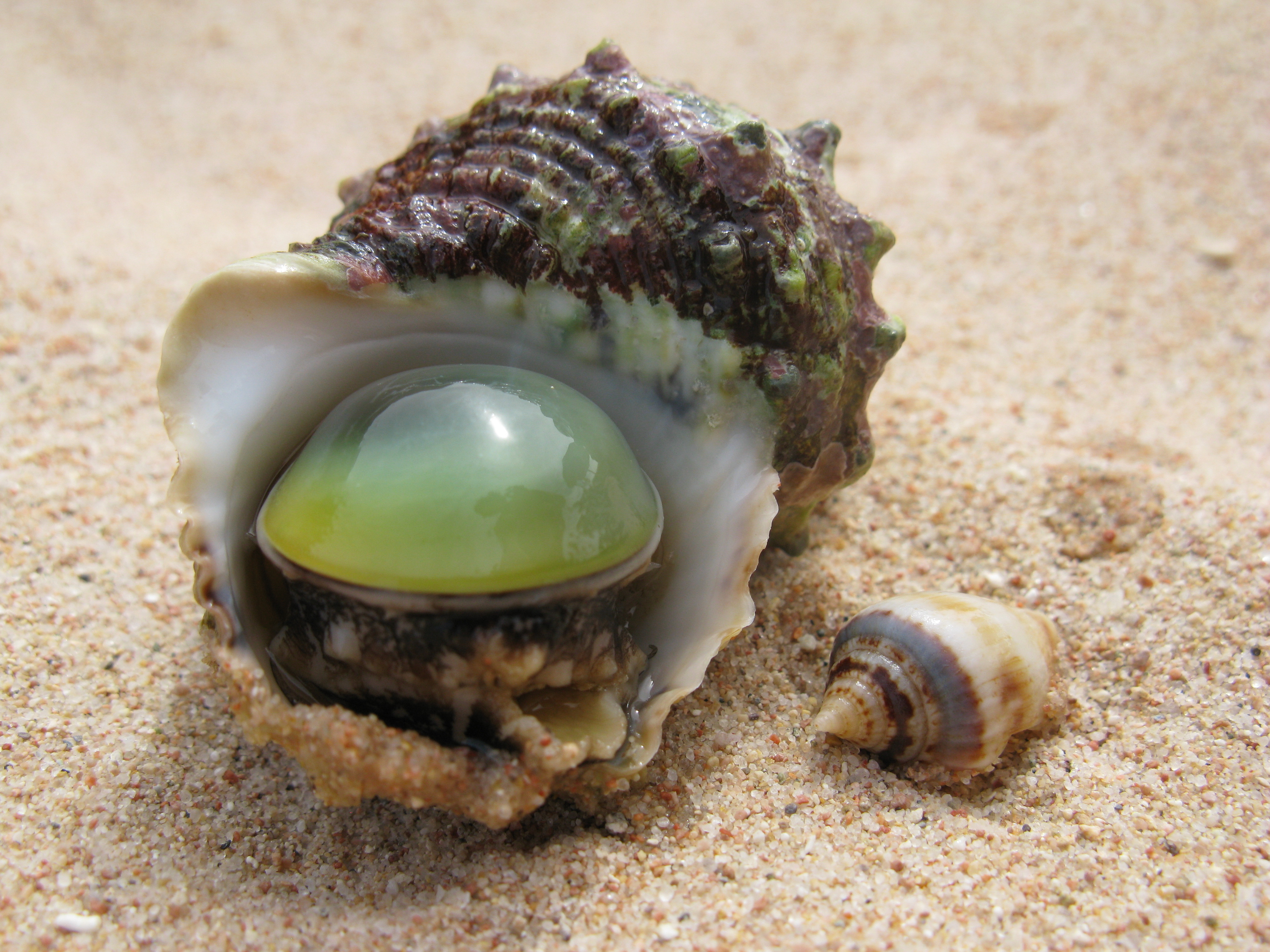 Beautiful wallpaper of shell, photo of pearl, clam ...