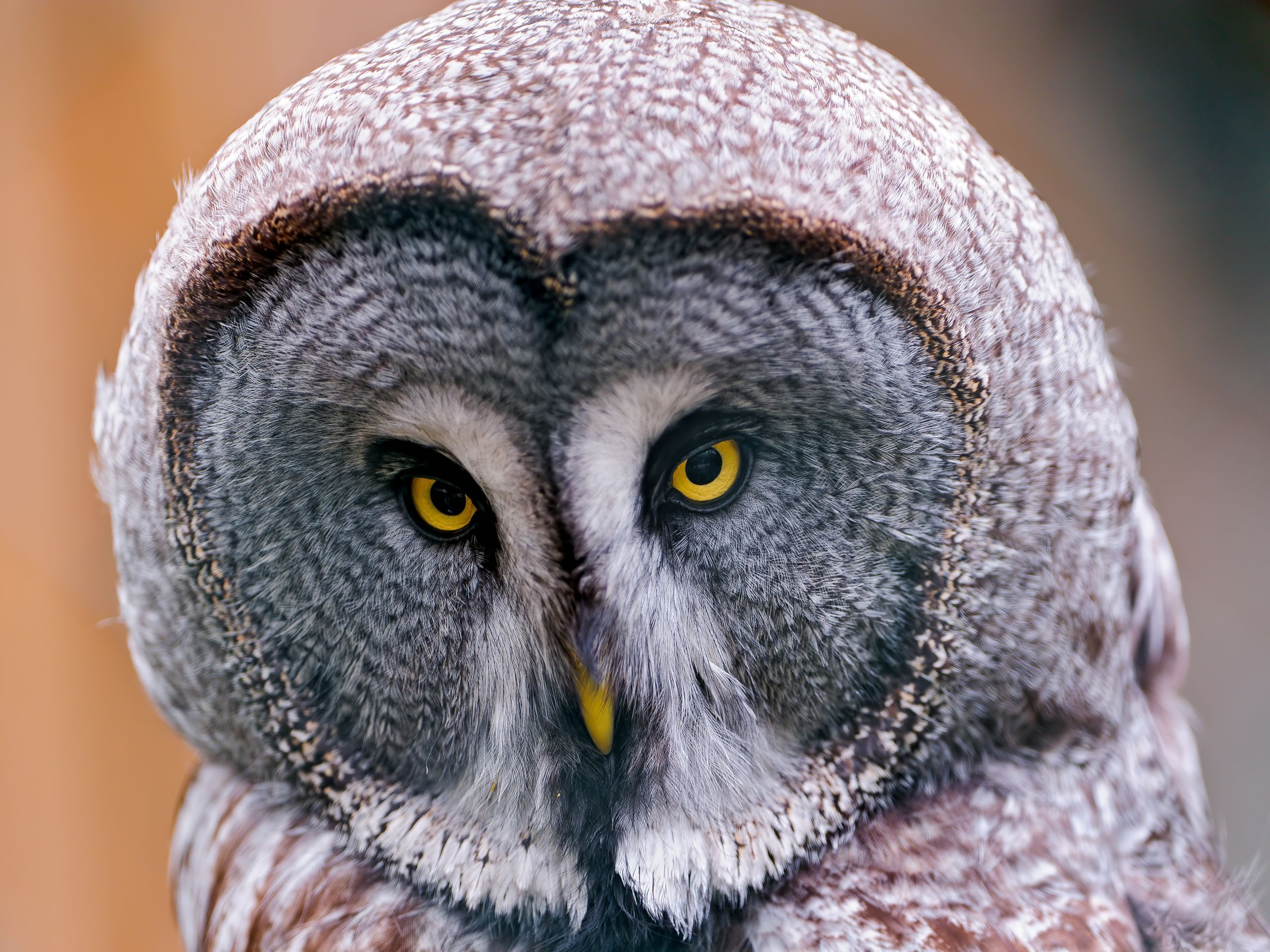 Best desktop wallpaper of great grey owl, wallpaper of ...