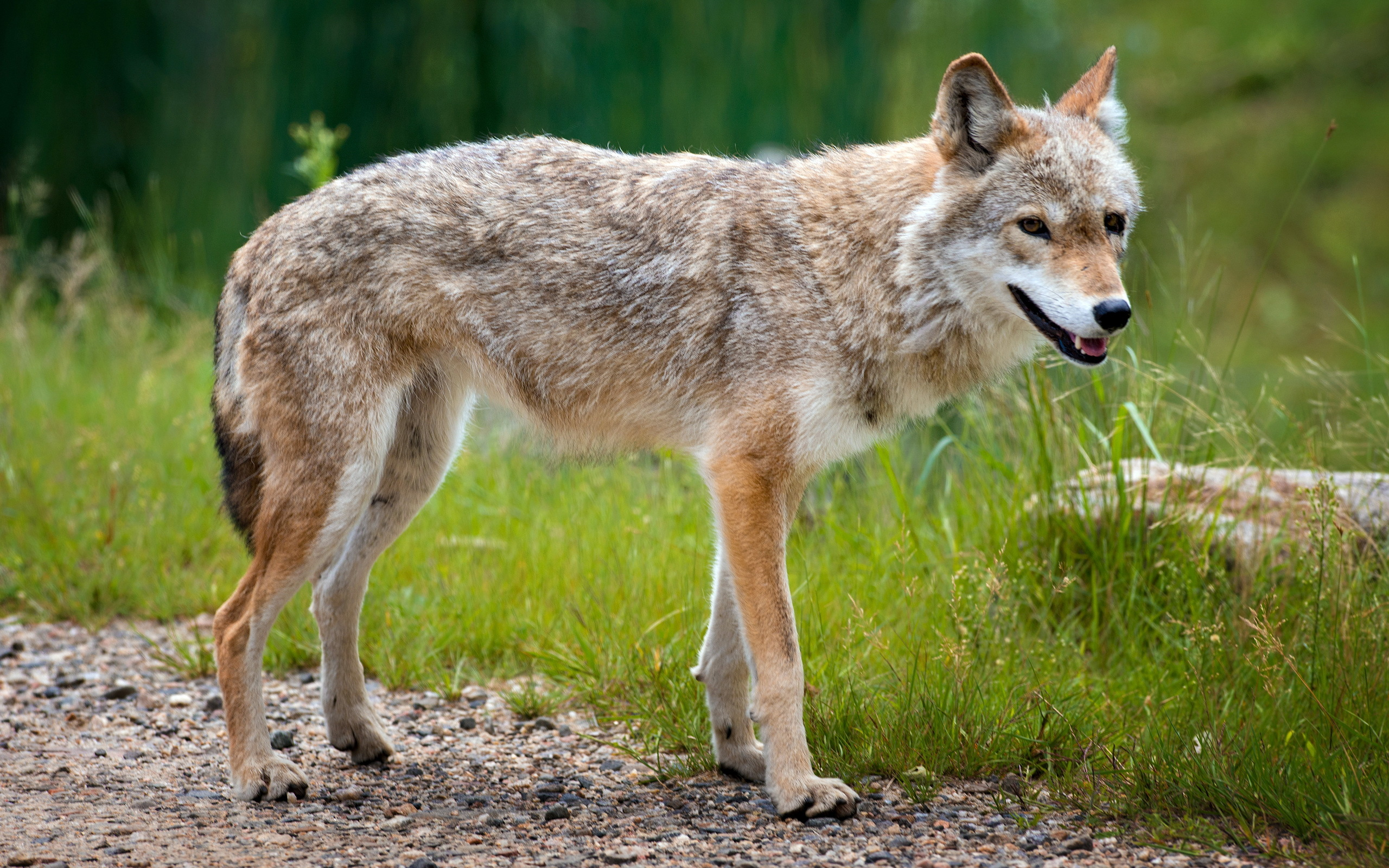 an introduction to the nature of the coyote