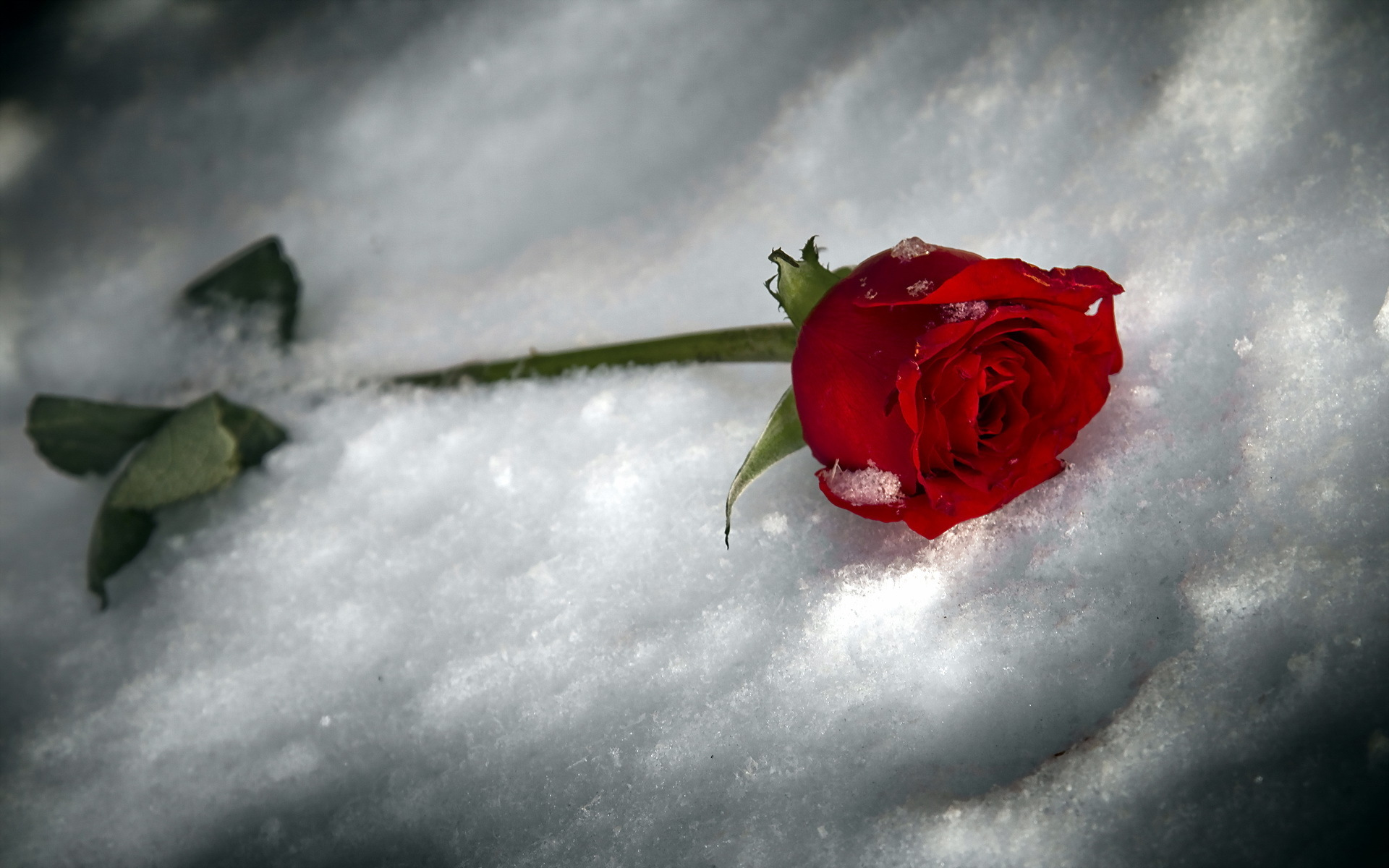High definition image of rose picture of snow background - Rose in snow wallpaper ...