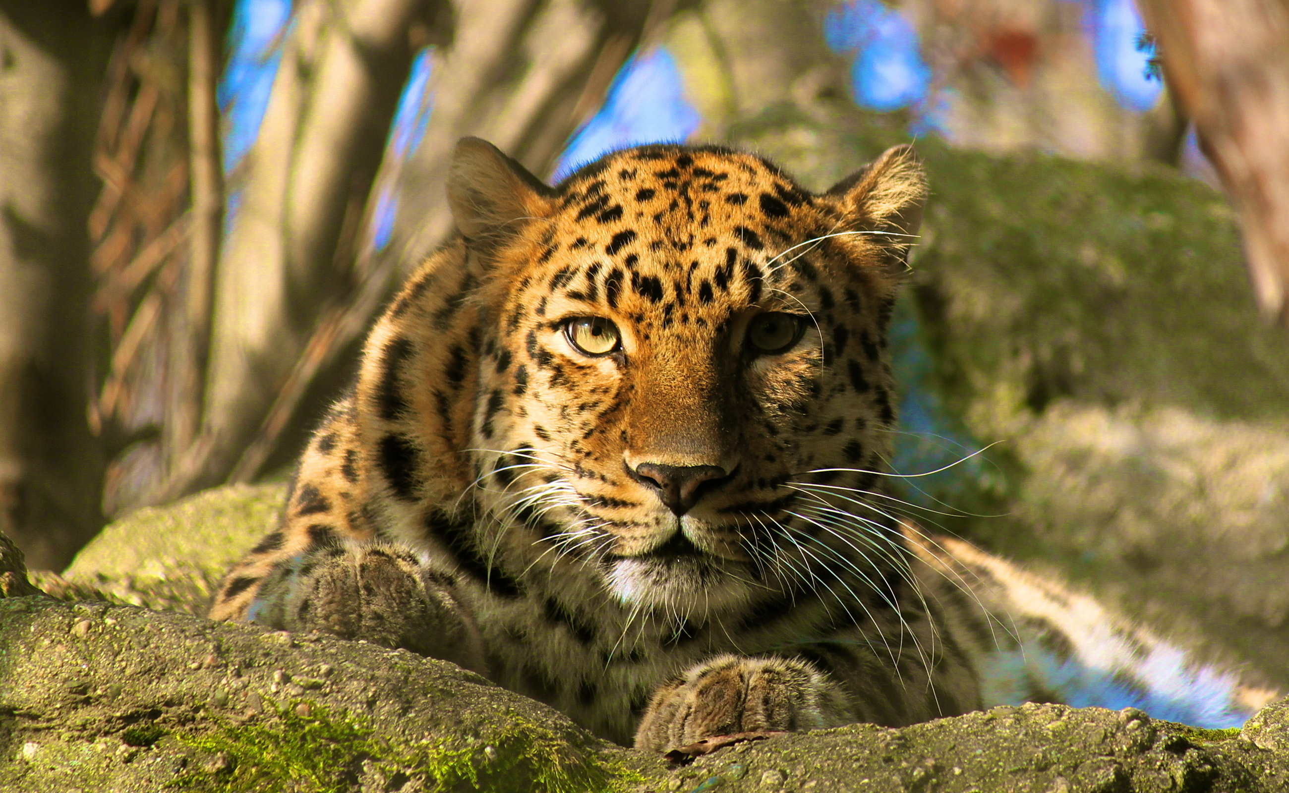 wallpaper amur leopard animal - photo #15