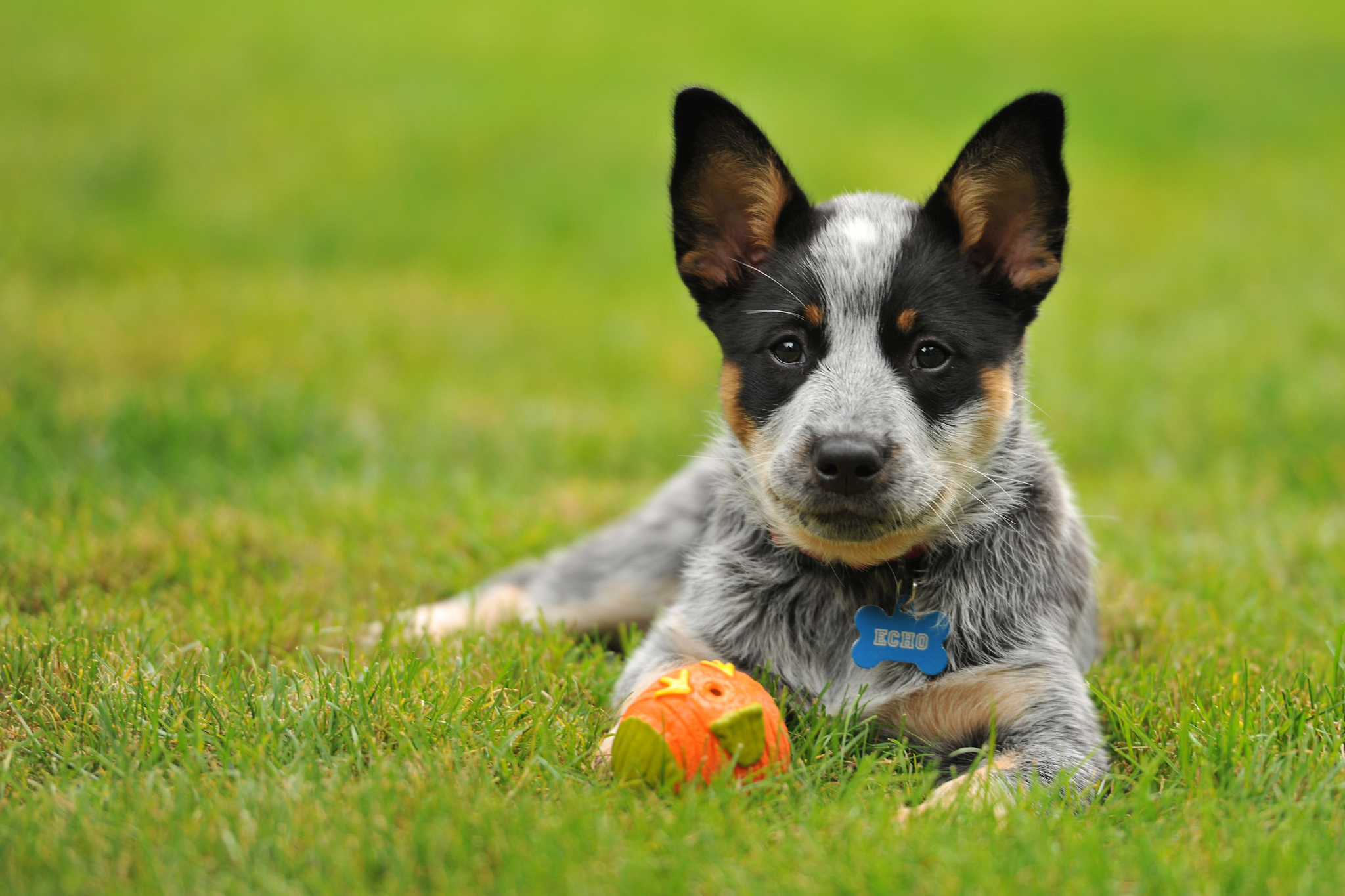 Blue heeler pictures photos Australian Cattle Dog Breed Information and Pictures