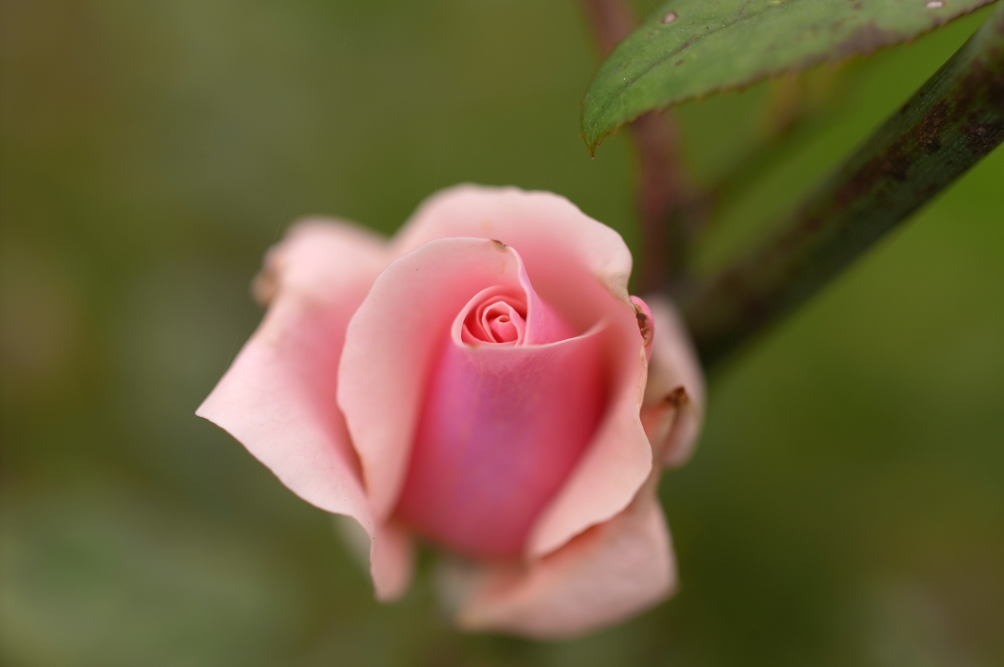 Nice Image Of Rose, Photo Of Pink, Flower